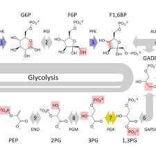 Glycolysis Chart With Enzymes The 10 Steps Of Glycolysis
