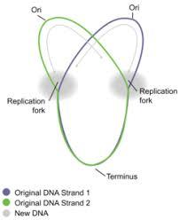 Dna Replication Definition Dna Replication In Prokaryotes Principles Of Biology Biology 211