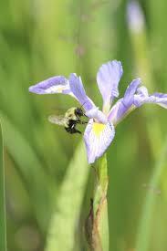 Iris blue mature leaf arrangement