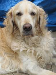 2011 Golden Successes – Irish Retriever Rescue