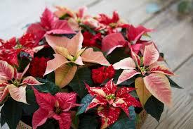 Weihnachtsstern Pflege So Blüht Die Poinsettie Im Ganzen