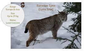 lynx size eurasian lynx lynx lynx subspecies wild cat family
