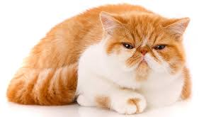 exotic shorthair. Exellent Exotic In Exotic Shorthair E