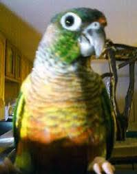 Green Cheeked Conure Care