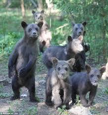 Free gay bear cubs