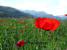 Red poppy against a blue sky with clouds.
