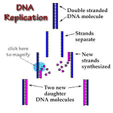 dna replication the replication of a dna molecule