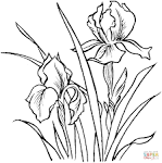 Раскраска цветка ирис