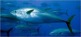 「tuna」的圖片搜尋結果