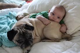 newborn baby pugs. Exellent Newborn My Newborn Son Lying On Top My Grumpy Pug Piglet For Newborn Baby Pugs