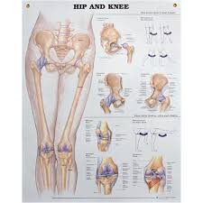 Wall Chart Hip And Knee