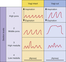 Types Of Breathing Patterns Control Of Ventilation Clinical Gate
