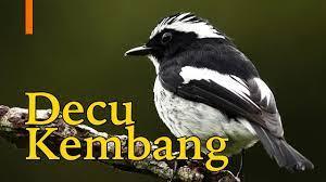 Decu kembang mp3 & mp4. Suara Burung Decu Kembang Sikatan Belang Gacor Youtube