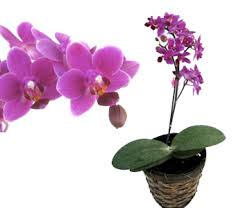 miniature pink erfly orchid gift