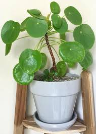 the best tips on how to care for pilea peperomioides chinese money plant ufo