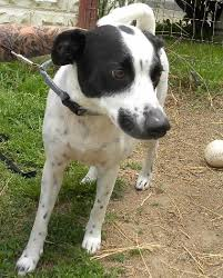 black and white jack russell terrier mix.  Jack White And Black Spotted Jack Russell Terrier Mix To Black And Terrier Mix L