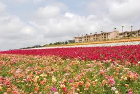 carlsbad flower fields all you need to know before you go with photos tripadvisor