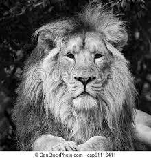 lion portrait black and white. Beautiful Black Beautiful Portrait Of Asiatic Lion Panthera Leo Persica In Black And White   Csp51116411 On Portrait Black And White F