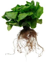 hydroponics is a way of growing plants without soil