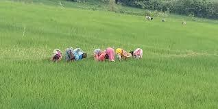 Labour shortage forces Punjab to advance paddy sowing date- The New Indian  Express
