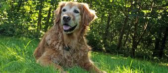 Πότε ένα σκύλος θεωρείται ηλικιωμένος;