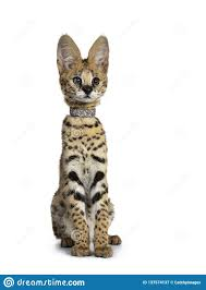 Cute 6 Months Young Serval Cat Kitten, Isolated On White Background. Stock  Image - Image of safari, portrait: 137574137