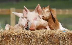 cute real farm animals. Brilliant Farm Interspecies Love Pig Goat Sheep Cuddle Puddle Squee Barn Farm Animals   6662545152 For Cute Real Farm Animals