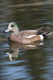 Know Your Waterfowl Ducks Unlimited Canada