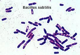 Gram Positive Bacilli Dm Lab 17