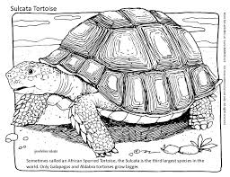 Small Picture Tortoise Coloring Page Sometimes called an African Spurred