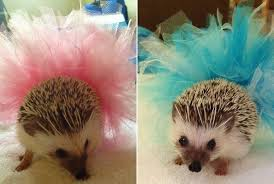 puppy bowl hedgehog cheerleaders. Exellent Bowl IMPORTANT The Puppy Bowlu0027s Hedgehog Cheerleaders Will Be Wearing Tutus To Bowl E