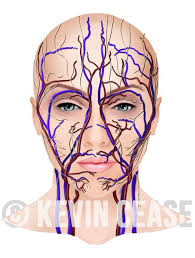 arteries of the face female face with vessels veins arteries and nerves for botox