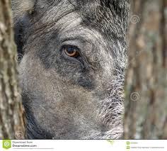 Wild Boar Eye 2566684 Jpg 1300 1174 Boar Pinterest