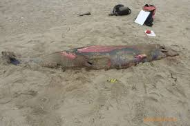 Rare Hubbs Beaked Whale Found Washed Ashore Deceased At