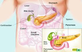Protein Digestion The Function Of Tripsin Enzyme In Protein Digestion Process
