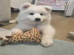 female samo puppy gravesend kent pets4homes samo puppies for kent