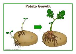 Potato Growth Chart Plant Growth Primary Teaching Resources And Printables