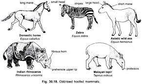 essay on mammals vertebrates chordata zoology odd toed hoofed mammals