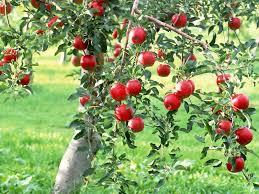 green apple fruit tree. fruiting apple, fruit-bearing deciduous tree green apple fruit