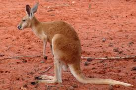 logo with kangaroo in red triangle red kangaroo of logo with kangaroo in red triangle red