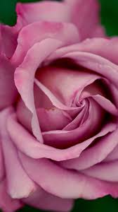 Dusty Pink Rose Wallpaper - iPhone ...