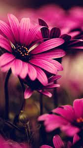 Flower iphone wallpaper, Daisy ...
