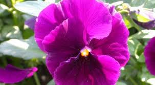 Risultati immagini per la pensee fleur