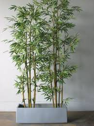 Bamboo in pots...for deck privacy (do you all see a trend  Indoor Bamboo  PlantPotted ...