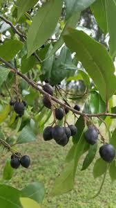 Houston Area Tree Id North Leaves Fruit Types  Garden Trees Green Fruit Tree Identification