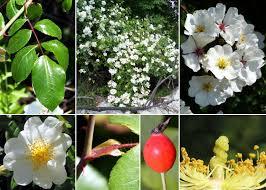 Rosa sempervirens L. - Portale della Flora di Roma
