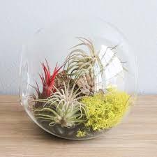 Large Hand-Blown Glass Terrarium with 3 Ionantha Air Plants ...