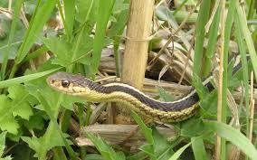 Learn about Nature | Garden Snake - Learn about Nature