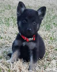 baby black german shepherd. Perfect Shepherd Pets And Animals For Sale In Cedar Lake Indiana  Puppy Kitten  Classifieds Buy Sell Kittens Puppies Americanlistedcom On Baby Black German Shepherd