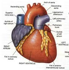 human anatomy and physiology quizlet chapter periodi on and  basic heart anatomy learning physiology on normal left common artery caroid h
